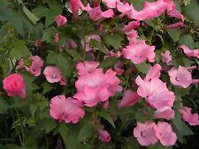 SEEDS 60 graines LAVATERE A GRANDES FLEURS (Lavatera Trimestris) ROSE MALLOW