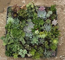 64 MISC SUCCULENT COLLECTION  SPRING SPECIMENS