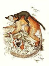 PAINTING ANIMAL POLLEN VAN DAM BLACK LEMUR WITH YOUNG ART PRINT LAH452A