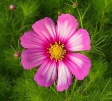 30 Graines de COSMOS Picotée Blanc - Rose / Douceur dans votre jardin / Fleur