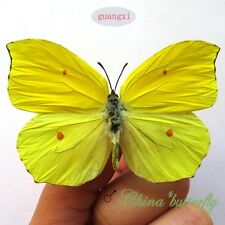 10 unmounted butterfly peridae Gonepteryx amintha GUANGXI  A1 A1-