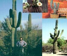 Ein Gigant unter den Kakteen Mexikanischer Säulenkaktus