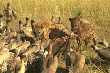 408013 Hyena's Prey With Vultures A4 Photo Print