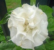 Datura Seeds - ANGEL'S TRUMPET BALLERINA DOUBLE WHITE -Tropical - 10 Seeds