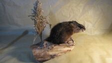 TAXIDERMY REAL MUSKRAT full mount
