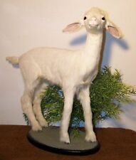 BABY GOAT KID Taxidermy Mount No horns or antlers NEW #16d