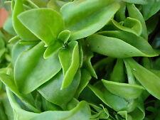 Medicinal herb seeds Andrographis paniculata false waterwillows periyanagai