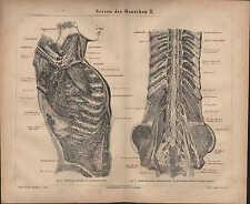Lithographie 1876: nerveux de l'homme II. tête cou bras fuselage la moelle épinière