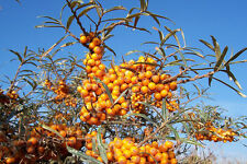 HIPPOPHAE RHAMNOIDES Olivello spinoso common sea-Buckthor 10 semi seeds semillas