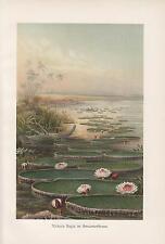 Amazonas-Riesenseerosen Seerosen Victoria regia amazonica LITHOGRAPHIE von 1898