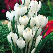 "60 X ""JOAN OF ARC CROCUS"" SPRING FLOWERING CORMS/BULBS SIZE 7/8."