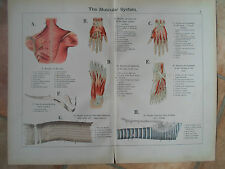 1897 ~ THE MUSCULAR SYSTEM ~ Vintage Print From Allmans Anatomical Atlas ( #V )