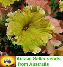 Petunia  Dolcissima Limoncello 25 pelleted seeds Aussie Seller