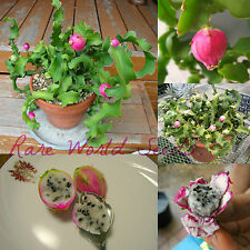 UNUSUAL! MINI Dragon fruit cactus! Pitaya IN or OUTDOOR container lover! SEEDS.