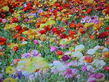 1/16 POUND A&P WILDFLOWER 25-FLOWER COLORS 28,125 SEEDS