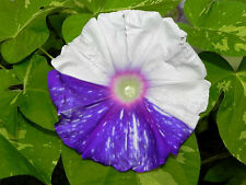 Gathering Clouds / Murakumo Ipomoea Nil Morning Glory 6 Seeds