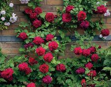 50 Rare 'Tess of the d'Urbervilles' Dark Red Climbing Rose Plant Flower Seeds