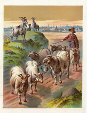 SHEPHERD HERDING SHEEP FLOCK GOATS MEADOW ANTIQUE PRINT 1886