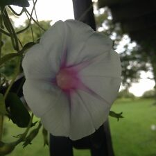 Japanese Morning Glory-Jamie Lynn-Annual-10 Seeds-Grown in 2015