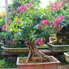 Stunning Crape Myrtle Bonsai Seeds Lagerstroemia  Bonsai Tree 10 Samen
