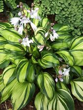 HOSTA PLANT RAINBOWS END BUY ANY5 GET 1 FREE MY CHOICE SHIP SPRING 2017