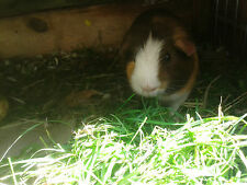 Timothy Hay Seeds -  Organic - 2 oz. - Easy to Grow Treat for Your Guinea Pig