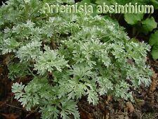 100 semi di Artemisia absinthium, assenzio