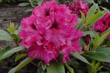Large 7.5L Pot Rhododendron Marie Fortier Dwarf Evergreen Shrub Garden Plants