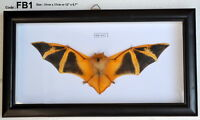 FB1 # Real Orange Fire Bat Taxidermy Mounted Framed Frame Rare Nice VIET NAM