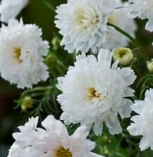 Cosmos - Double Click Snow Puff - 20 Seeds