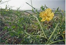 Wild Flower - Glaucium - Yellow Horned-poppy - 400 Seed