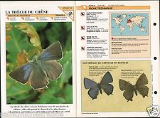 Thécla du chêne Neozephyrus quercus Purple hairstreak  Insect FICHE FRANCE