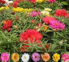 Portulaca Sundial Double Mixed Seed Pretty Annual