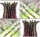 ARGENTEUIL PURPLE Asparagus Seeds ~ A+ French HEIRLOOM - very large flavorful sp