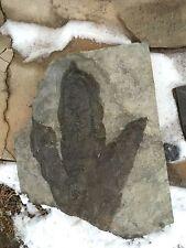 BIG Jurassic Dinosaur Footprint Fossil! Collector Special! A Grade!!!!