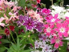 30+ Phlox Twinkle Star Mix Shade Loving / Annual Flower Seeds