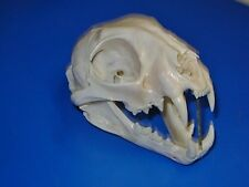 "Genuine - Idaho - BOBCAT SKULL - ""Wild-cat"" -  Skeleton Mtn Man Hunt Trap Antler"