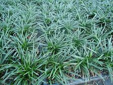 DWARF MONDO GRASS 220 PIPS,Evergreen, ground cover, border, rock garden.