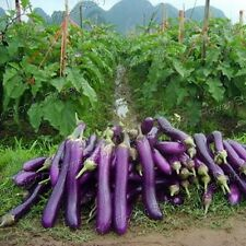All Weather 100 Eggplant Seeds Easy to Plant Yard Vegetable 1