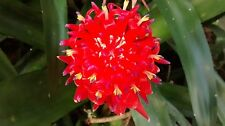 "3 - Live ""Flaming Torch"" Flowering Bromeliads Billbergia"