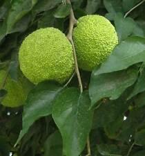 Maclura Pomifera - 20 Seeds - Osage Orange / Horse Apple