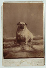 Unusual Cabinet Photo - Fat Pug Dog - Posed Studio ca 1880 - Potsdam NY