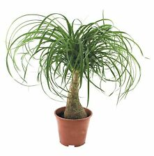 Red Ponytail Palm - 10 Seeds - Beaucarnea Guatemalensis - Elephants Foot Bonsai