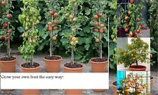 3 x organic fruit TREES~Apple,Plum,Cherry tree,ideal for patio/gift