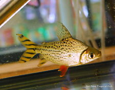 Flagtail Prochilodus (Semaprochilodus insignis) - Oddball Tropical Fish