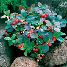 Wintergreen- Gaultheria Procumbens- 25 Seeds