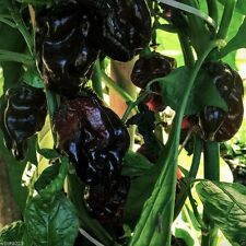 10 BLACK CAYMAN Pepper Seeds (Capsicum chinense) Organic Non-GMO Hot Peppers