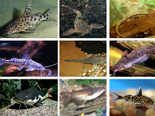 x20 ASSORTED CATFISH PACKAGE - FRESHWATER LIVE FISH *FREE SHIPPING
