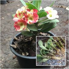 Euphorbia milii 1 Rooted Plant Crown of Thorns ''Lukmai'' From Thailand Tall 3''