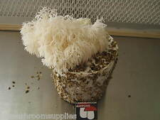 Magic farm's Lion's Mane (Hericium) mushroom spore culture syringe ( kit )